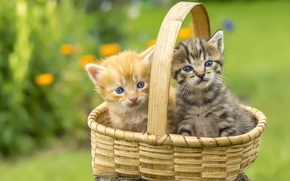 Картинка корзина, котята, лужайка