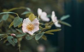 Картинка зелень, цветок, макро, цветы, куст, клубника, цветение, огород