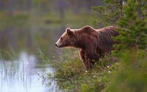 Картинка лес, вода, медведь, топтыгин