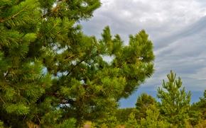 Картинка лес, небо, тучи, шишки, сосна