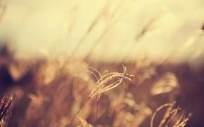 Картинка поле, колоски, боке