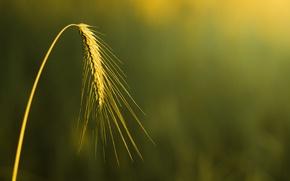 Картинка пшеница, поле, макро, фон, widescreen, обои, рожь, размытие, колоски, wallpaper, колосья, широкоформатные, background, macro, колосок, ...
