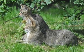Картинка зелень, лето, трава, котенок, дикая кошка, европейская кошка