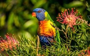 Картинка цветы, птица, попугай, Многоцветный лорикет, Гревиллея, лорикет