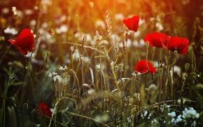 Картинка поле, трава, цветы, маки