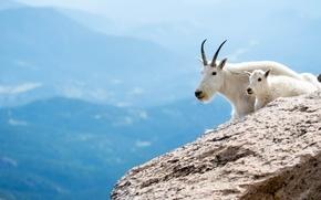 Картинка животные, горы, белые, коза, козы, козленок, обои от lolita777, горные козы, парнокопытные, мать и дитя