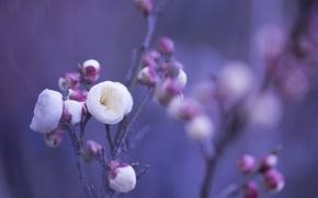 Картинка макро, цветы, фон, сиреневый, лепестки, размытость, розовые, Белые, бутоны, веточки
