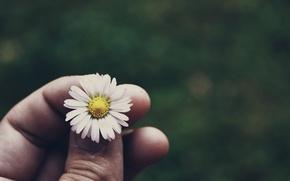 Картинка цветок, трава, ромашка, grass, flower, camomile