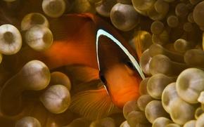 Картинка Взгляд, Рыбка, Анемон