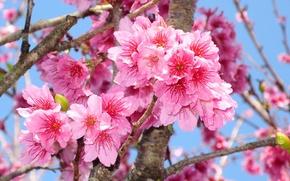 Картинка макро, ветки, вишня, красота, весна, colorful, сакура, Sakura, цветение, blossom, Spring, cherry, Flowering trees