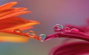 Картинка капли, макро, цветы