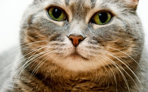 Картинка глаза, усы, взгляд, морда, Кот, толстый, щеки