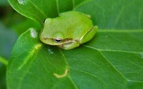 Обои зелень, лист, Лягушка