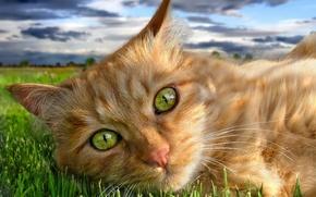 Картинка рыжий, трава, зелень, глаза, кот