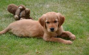 Картинка трава, игрушка, собака, щенок, лежит, лужайка