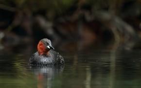Картинка вода, птица, утка, водоем, малая, поганка