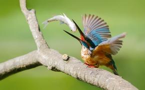 Картинка птица, рыба, ветка, kingfisher, alcedo atthis, обыкновенный зимородок, улов