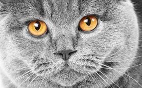 Обои кошка, серый, cat, морда, британец, желтые, глаза, британский, кот