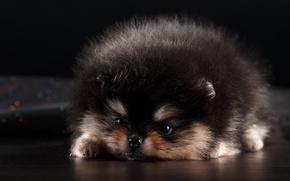 Картинка щенок, милый, шпиц