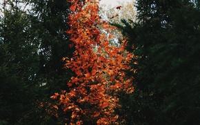 Картинка осень, природа, дерево, ёлки