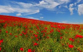 Обои небо, поле, луг, маки, цветы