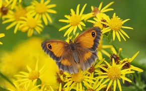 Картинка макро, цветы, бабочка, Крупноглазка жёлто-бурая, Якобея