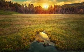 Картинка поле, лес, небо, трава, солнце, деревья, пруд, рассвет, утки, hdr