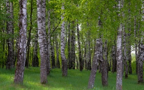 Картинка лес, весна, утро, Березы, роща