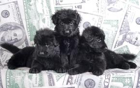 Картинка черный, щенки, трио, овчарка