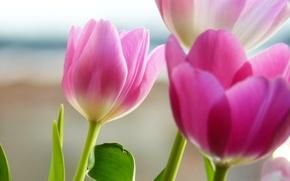 Обои цветы, розовые, лепестки, тюльпаны