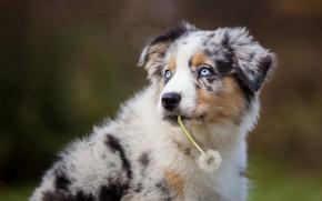 Картинка взгляд, друг, одуванчик, собака