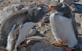 Обои пингвины, Антарктида, птенец