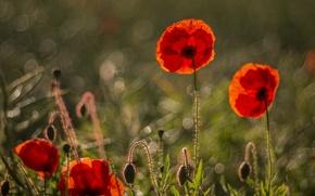 Обои маки, красные, лепестки, цветы, трава