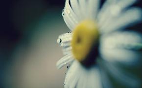 Картинка цветок, вода, капли, макро, желтый, роса, фон, обои, лепестки, ромашка, wallpaper, flower, широкоформатные, background, macro, …