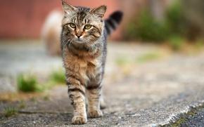 Картинка кошка, улица, серый, полосатый, асфальт, кот