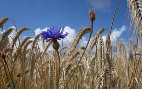 Картинка небо, колосья, поле, цветок