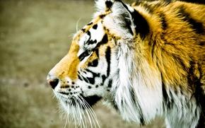 Картинка широкоэкранные, размытие, морда, обои, HD wallpapers, тигр, полноэкранные, background, fullscreen, животные, широкоформатные, фон, widescreen, профиль, ...