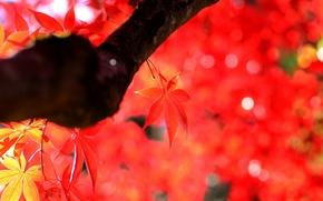 Обои клен, дерево, ствол, осень, листья