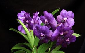 Обои ванда, орхидея, темный, цветы