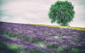 Картинка цветы, дерево, холмы, Польша, лаванда, Голча