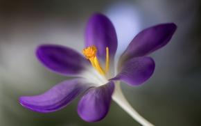 Картинка цветок, размытие, крокус