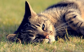 Картинка кошка, лето, трава, кот, лежит