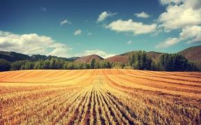 Обои поле, пшеница, урожай, колосья, деревья