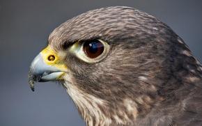 Картинка взгляд, глаз, птица, хищник, голова, сокол