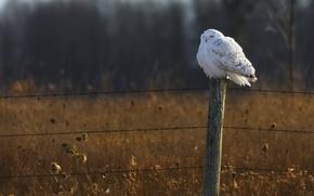Картинка поле, лес, сова, забор, дикая природа, полярная сова