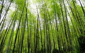 Картинка природа, заросли, растение, бамбук