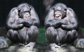 Картинка смех, пара, обезьяны, бревно, приматы, шимпанзе