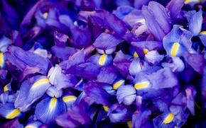Обои цветы, много, ирисы, синие, сиреневые