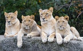 Картинка кошки, камень, львы, львята, львица, ©Tambako The Jaguar