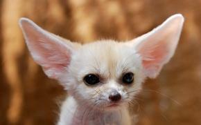 Обои белая, уши, нос, лиса